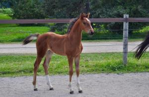 Rivalia Filly