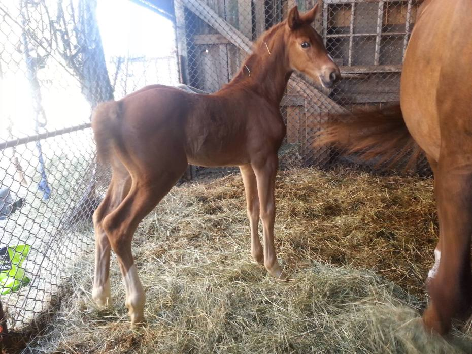 valentino filly